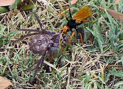 Spider Wasp dragging Hunstman Spider SMC.jpg