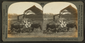 Splendid hereford cattle in Kansas feeding pens showing open air feeding shed, Manhattan, Kan, by Keystone View Company.png