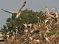 Spot-billed Pelican (Pelecanus philippensis)- Immatures at nest looking for food from Adult W IMG 5346.jpg
