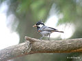 Spot winged Tit- carrying feed for chicks I IMG 3912.jpg