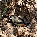 Spotted Pardalote (Pardalotus punctatus) - female and burrow, Bendigo, Victoria, Australia.jpg