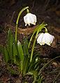 Spring snowflake (47184387571).jpg