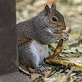 Squirrel Eating A Banana (123959521).jpeg