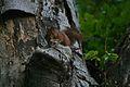 Squirrel Söderåsen.jpg