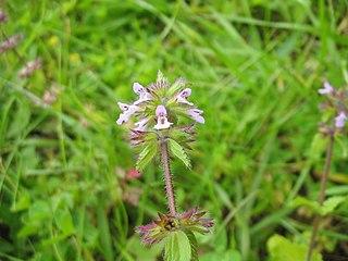 <i>Stachys arvensis</i> Species of flowering plant