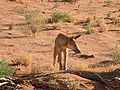 Stared off by a dingo.jpg
