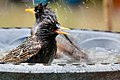 Starling Bath Time (34428798266).jpg