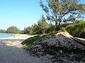 Starr-050128-3292-Cynodon dactylon-restoration site-Kanaha Beach-Maui (24617483692).jpg
