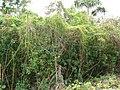 Starr-070321-5934-Cassytha filiformis-habit-Waianapanapa State Park Hana-Maui (24859116546).jpg