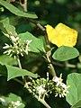 Starr-080601-5130-Solanum torvum-flowers and leaves-Community garden Sand Island-Midway Atoll (24818085081).jpg