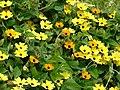 Starr-080716-9357-Thunbergia alata-cv Sundance yellow flowers-Enchanting Gardens of Kula-Maui (24806092422).jpg