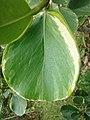 Starr-090430-7136-Clusia rosea-variegated leaves-Enchanting Floral Gardens of Kula-Maui (24323332574).jpg