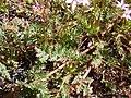 Starr-090504-7217-Erodium cicutarium-leaves and seed capsules-Science City-Maui (24860820311).jpg
