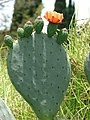 Starr-090519-8035-Opuntia ficus indica-flower-Kula-Maui (24837689882).jpg