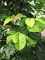Starr-090617-0830-Sandoricum koetjape-leaves-Ulumalu Haiku-Maui (24665191370).jpg