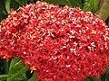 Starr-090806-3842-Ixora sp-flowers-Wailuku-Maui (24853409502).jpg