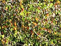 Starr-091023-8504-Acer buergerianum-fall foliage-Kula-Maui (24691245020).jpg
