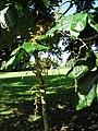 Starr-091104-0820-Aglaia saltatorum-flowers and leaves-Kahanu Gardens NTBG Kaeleku Hana-Maui (24360797043).jpg