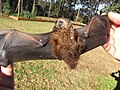 Starr-100907-9094-Eucalyptus sp-habitat with Hawaiian hoary bat Lasiurus cinereus semotus-Olinda-Maui (24683877679).jpg
