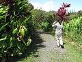 Starr-110330-4115-Philodendron sp-habit with Kim-Garden of Eden Keanae-Maui (25054917346).jpg