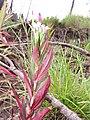 Starr-120501-5449-Epilobium ciliatum-flowers and leaves-Polipoli-Maui (25023815872).jpg