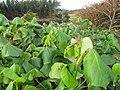 Starr-130319-2819-Hibiscus tiliaceus-leaves-Rock Quarry Beach Mokolea Pt Kilauea Pt NWR-Kauai (24840542509).jpg