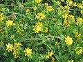 Starr-130605-4712-Lotus uliginosus-flowering habit-Olinda-Maui (25093297552).jpg