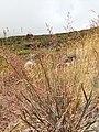 Starr-130722-0244-Agrostis stolonifera-seeding habit-Front Country HNP-Maui (25128130741).jpg