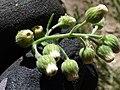 Starr-170617-0647-Conyza bonariensis-flowers hairs-Town Sand Island-Midway Atoll (35525781064).jpg