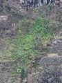 Starr-180326-0459-Bocconia frutescens-habit in seep on cliff-Pukai Gulch Kahikinui-Maui (39431889120).jpg