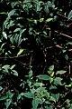 Starr-980507-4040-Clidemia hirta-habit with Tibouchina-Hana Hwy-Maui (23886933513).jpg