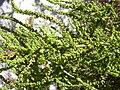 Starr 031108-0212 Chenopodium ambrosioides.jpg