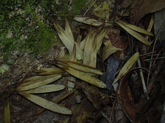 Samara (fruit) - Image: Starr 040601 0006 Fraxinus uhdei