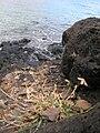 Starr 050419-0354 Dactyloctenium aegyptium.jpg