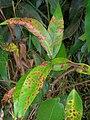 Starr 060916-8842 Syzygium jambos.jpg