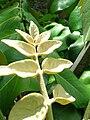 Starr 061108-9820 Munroidendron racemosum.jpg