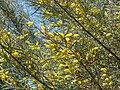 Starr 070402-6317 Acacia aneura.jpg