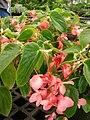 Starr 080117-1521 Begonia sp..jpg