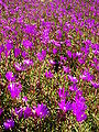 Starr 080219-2883 Lampranthus roseus.jpg