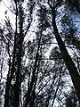 Starr 080608-7763 Casuarina equisetifolia.jpg
