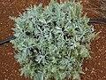 Starr 081230-0623 Artemisia australis.jpg
