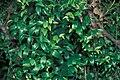 Starr 990105-2530 Asparagus asparagoides.jpg