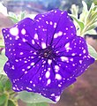 Starry night petunia flower in Porto Alegre - Brazil.jpg
