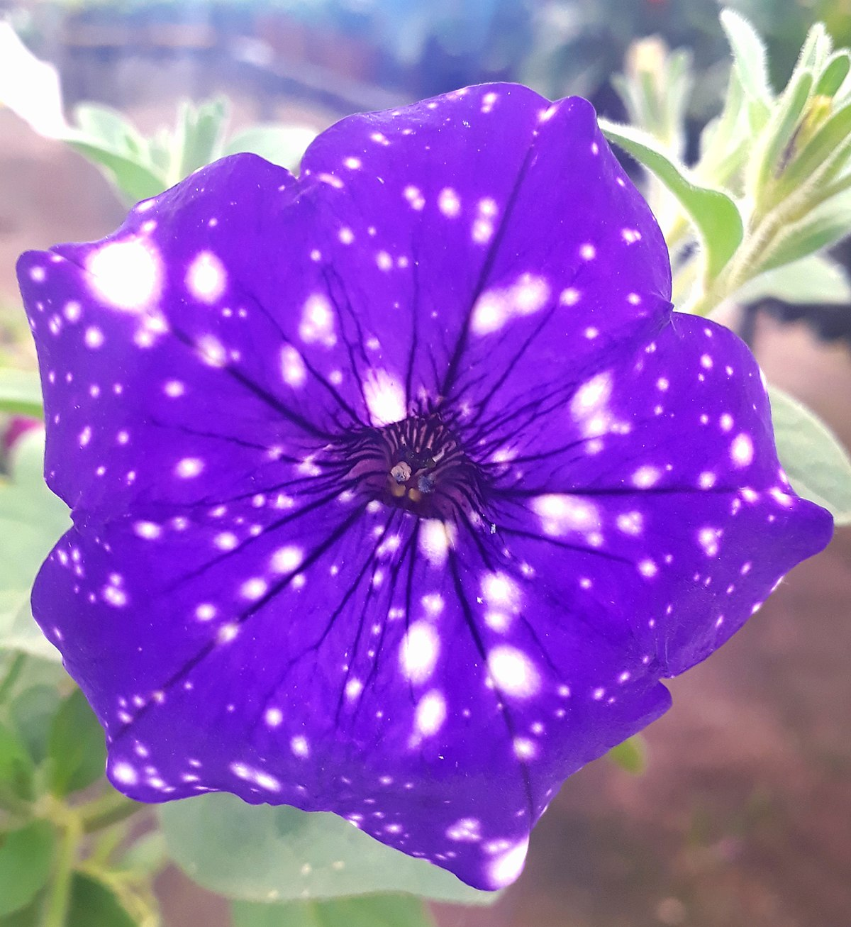 Starry night petunia flower in Porto Alegre - Brazil.jpg