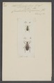 Stenolophus - Print - Iconographia Zoologica - Special Collections University of Amsterdam - UBAINV0274 011 07 0015.tif