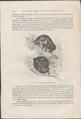Stenops gracilis - 1700-1880 - Print - Iconographia Zoologica - Special Collections University of Amsterdam - UBA01 IZ19700178.tif