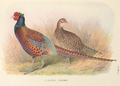 Strauch's Pheasant by H. Jones.png