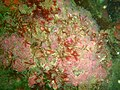 Strawberry anemones at Pinnacle PB022212.JPG