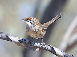 Striated Grasswren Scotia Station NSW Dan Eyles.jpg