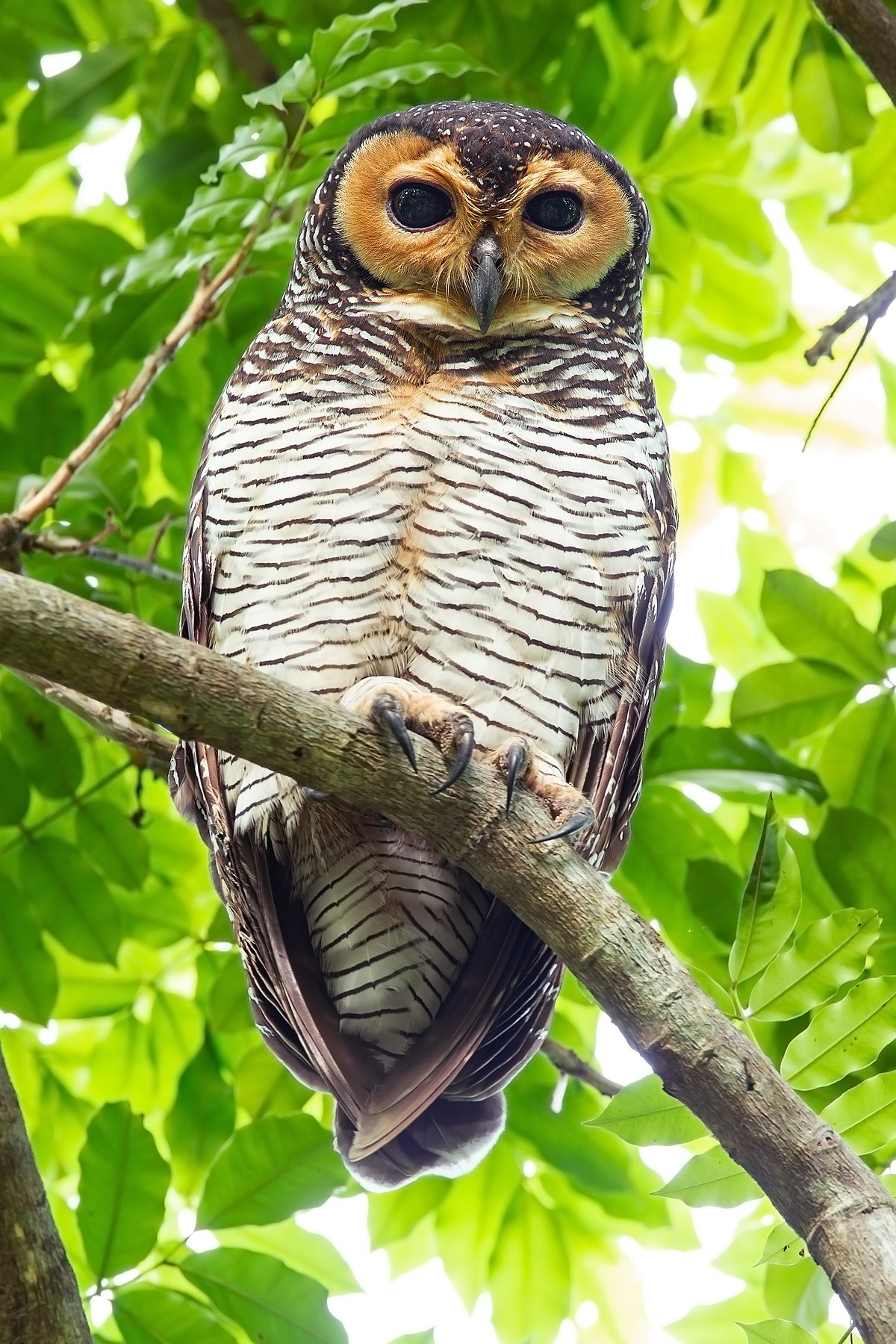 Spotted wood owl - Wikipedia